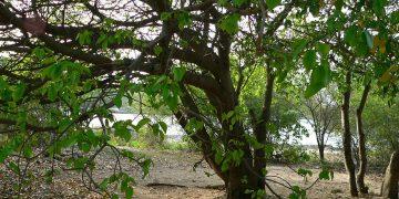 World's Most Dangerous Tree - The Manchineel Tree