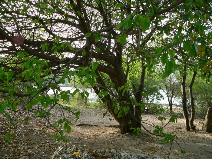 Manchineel Tree - World's Most Dangerous Tree