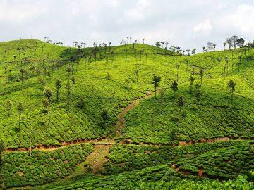 Valparai Tea Plantation