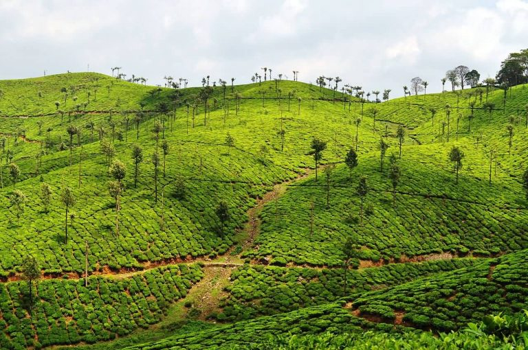 Valparai Tea Plantation