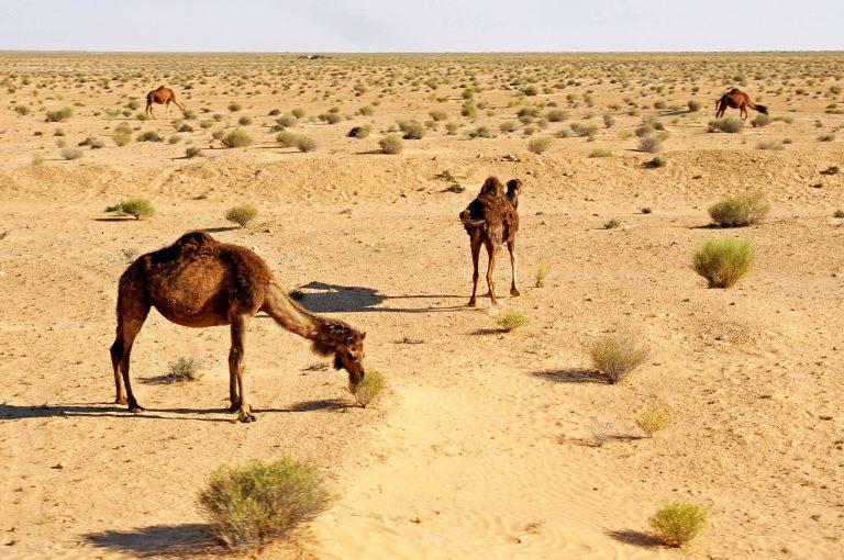 Camels In Desert, Tunisia