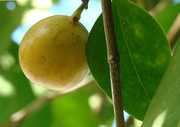 Fruit of the Manchineel Tree