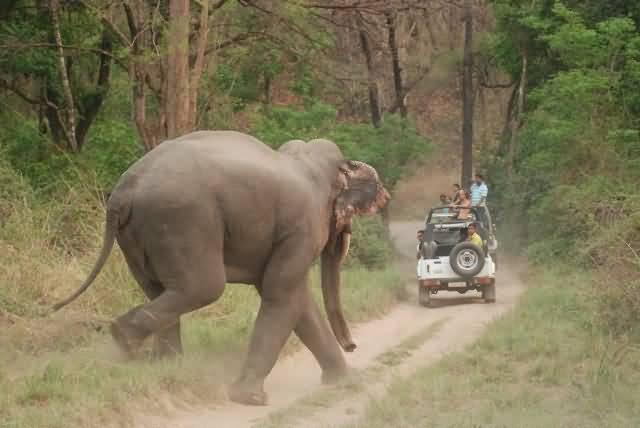 Asian Elephant At Corbett National Park