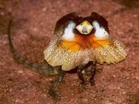 Beautiful Frilled Neck Lizards