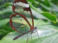 The Incredible Glasswing Butterfly With Transparent Wings
