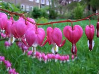 Gain Knowledge About Bleeding Heart Flower