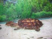 Know About The Freshwater Mata Mata Turtle