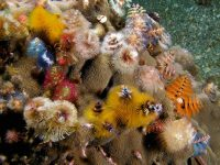 Find Out About Christmas Tree Worms Also Known As Spirobranchus Giganteus