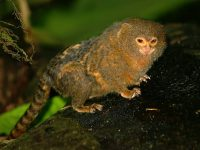 Know About The Smallest Monkey In The World