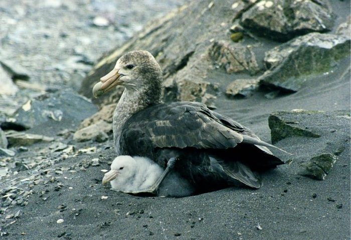 Antarctic Giant Petrel With Chicks