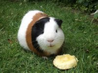 Some Fun Facts About Guinea Pig