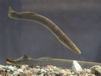 Some Characteristics Of Lamprey Which Is A Jawless Fish
