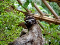 Did You Knew Sloth Is The Slowest Animal In The World ?