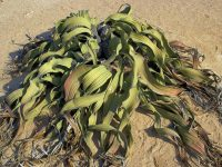 Know About The Continuous Growth Of Welwitschia Mirabilis Plant
