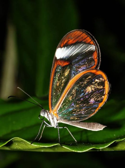 The Incredible Glasswing Butterfly With Transparent Wings Allrefer