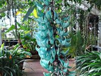 Know About The Jade Vine (Strongylodon Macrobotrys)