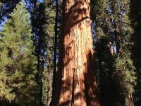 World's Tallest Tree