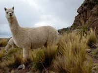 Learn Facts About The Fluffy And Soft Animal, Alpaca