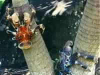 Biggest Land Living Arthropod On Earth