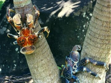 Coconut Crab In Bora Bora