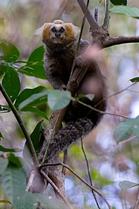 Buffy Headed Marmoset