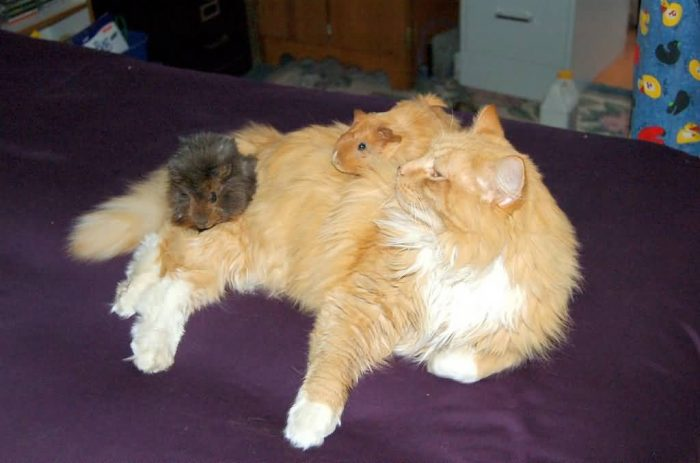 Cat And Guinea Pigs
