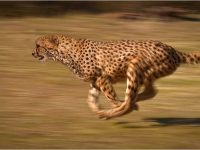 Cheetahs – The World's Fastest Land Animal