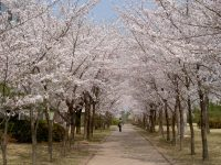 View Some Awesome Photos of Lovely Cherry Blossom Trees