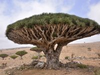 Facts About Dragon Tree