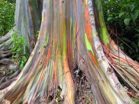 See The Unique Multi-Hued Bark – Eucalyptus Deglupta
