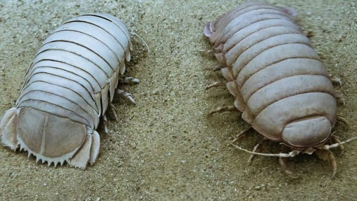 Front And Back View Of Giant Isopod