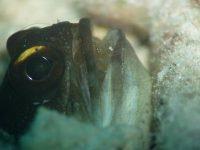 What A Mouthful! Male fish Takes On The Task Of Protecting Its Eggs