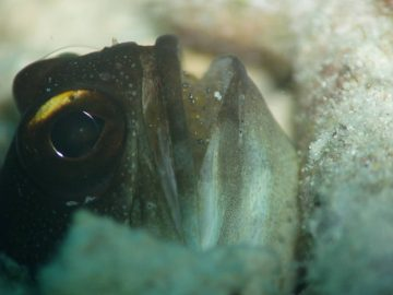 Jawfish Hatching Their Eggs In Mouth