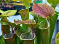 Do You Know This Plant That Traps & Eats Insects?