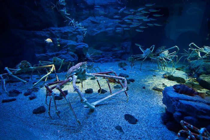 Japanese Spider Crabs