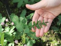 One Of The Sensitive And Shy Plant – Mimosa Pudica