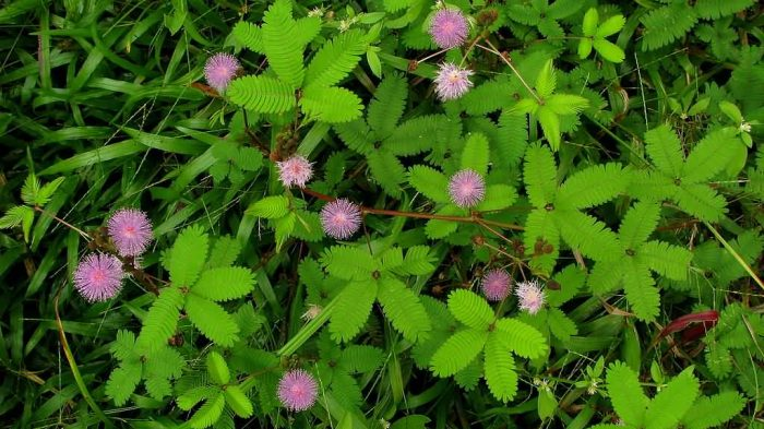 Mimosa Pudica Plant With Flowers