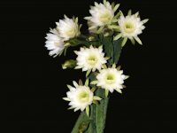 5 Lovely Flowers Which Bloom Only At Night