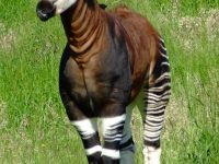 8 Interesting And Fascinating Facts About Okapis