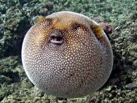 "Know Why Do Pufferfish ""Puff Up""?"