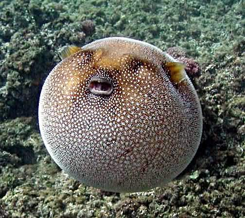 know why do pufferfish puff up allrefer