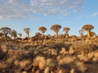 See The Beauty Of Quiver Tree Forest
