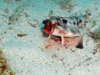 See The Unusual Red-Lipped Batfish