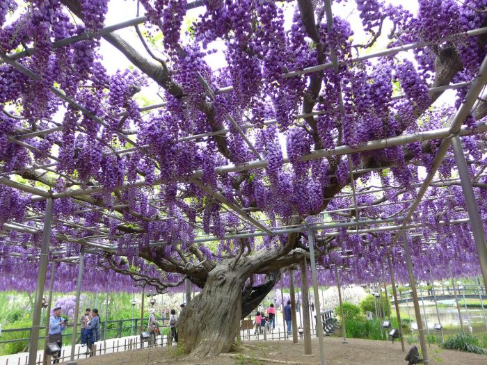 Wow Beautiful Wisteria Vine Flowering Plant Allrefer
