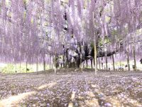 Wow! Beautiful Wisteria Vine Flowering Plant