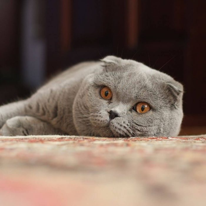 Adult Scottish Fold Cat