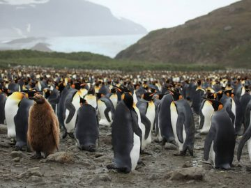 King Penguins At Salisbury Plain