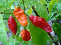 Top 4 World's Hottest Chilli Peppers