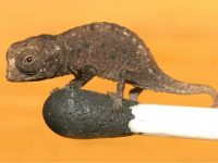 Top 8 Short-lived Reptiles In The World