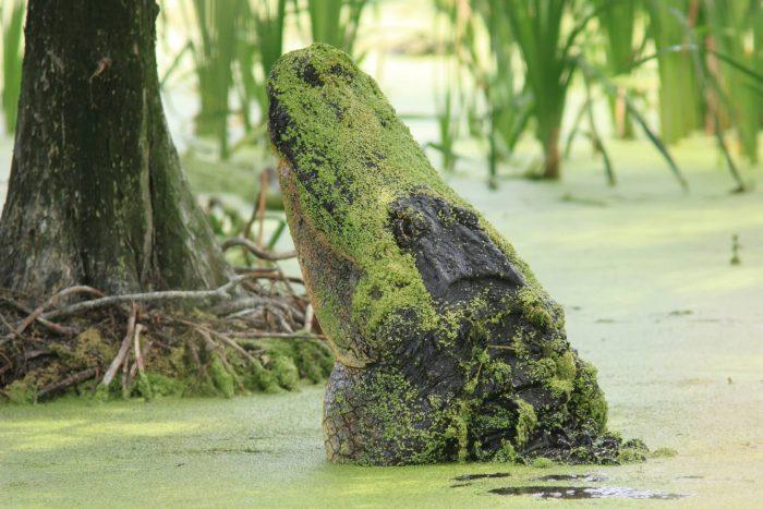 Duckweed On Crocodile Neck